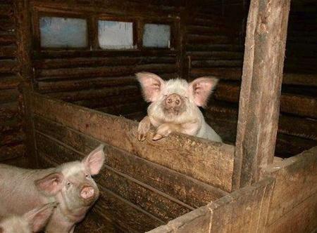 Свинюшки в утепленном сарае